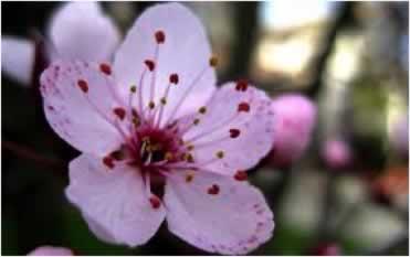 Flor de Bach Cherry Plum Sumersalud 3